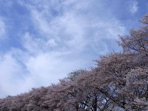 20120415_sakura_03