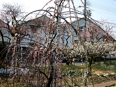 20140316_aotanibairin_03